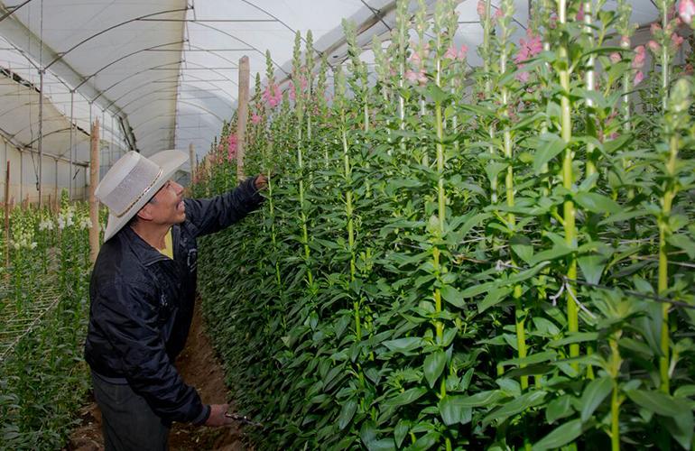 En Guatemala se registran 100 empresas productoras/exportadora, las cuales generan 60,000 fuentes estables de trabajo, además 15,000 empleos permanentes