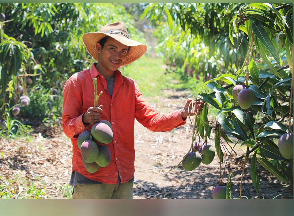 productores de mango