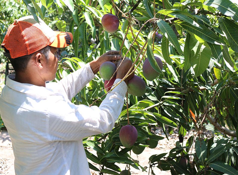 mango guatemalteco de exportación
