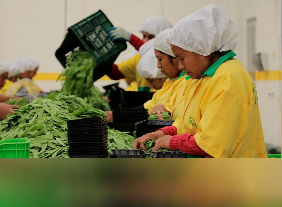 Arvejas vegetales de exportación