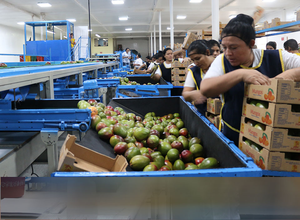 mango guatemalteco