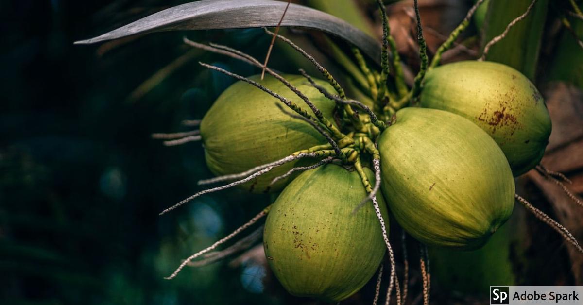 Guatemala exporta cocos frescos