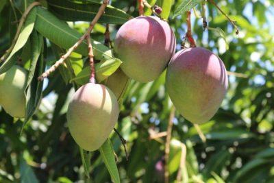National Mango Board convoca para designar a productor extranjero