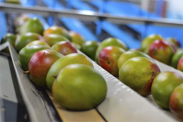 Las herramientas que debe conocer para mejorar la calidad del mango de exportación
