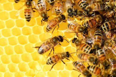 Mejoramiento de genética en abejas ayudará al aumento de producción de miel guatemalteca para la exportación