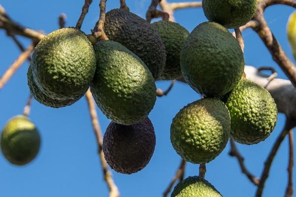 Aguacate, exportación y producción en Guatemala